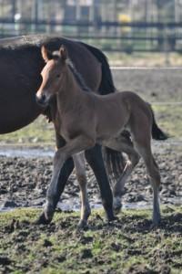 keystud.2015.foal.F-oneUSA.II
